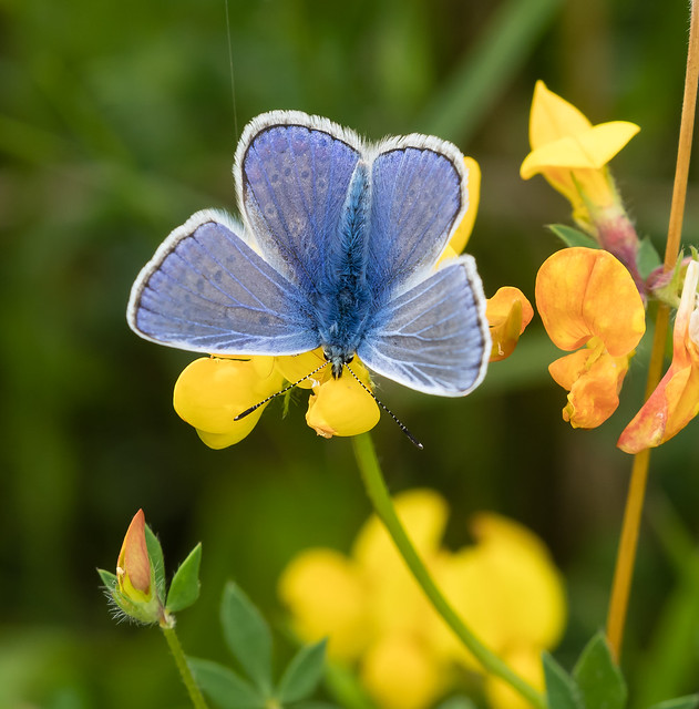 Common Blue 054 (1222)