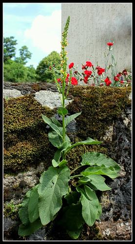 Verbascum nigrum  (1)
