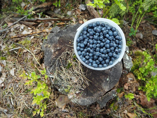 blueberrysuperfoodforestP7109004,mustikatkerätäsuomimustikkasaalisP7109025, metsä, forest, suomi, finland, kerätä, poimia, pick up, pick out, marja, marjat, berry, berries, mustikka, blueberry, superfood, from our forests, natural, luonnon superfood, healthy, delicious, collecting berries, poimia marjoja, kesä, summer, holiday, luonto, nature,
