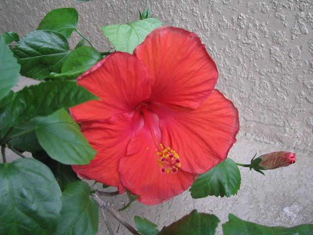 Hibiscus Image 1495