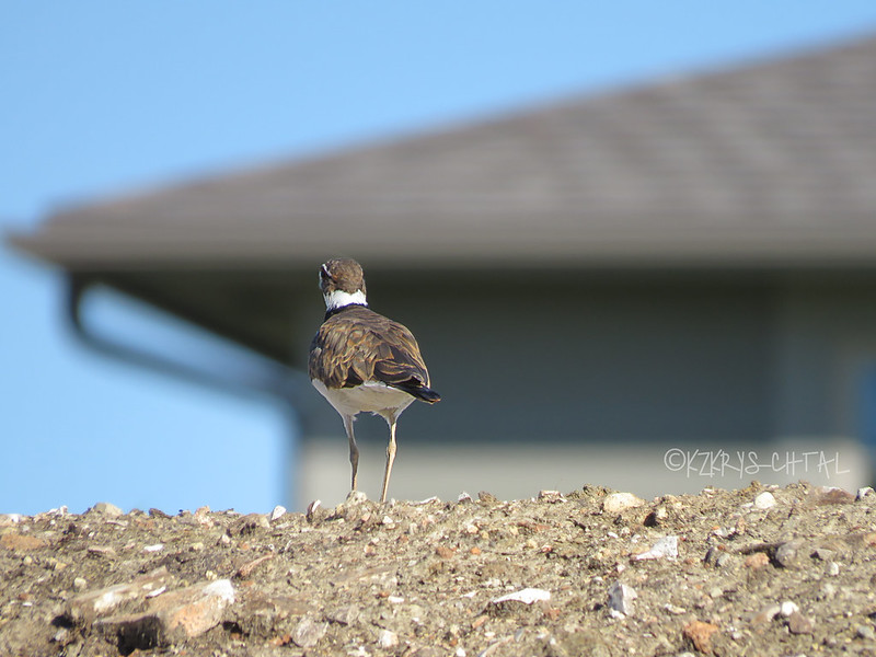 IMG_2768Killdeer