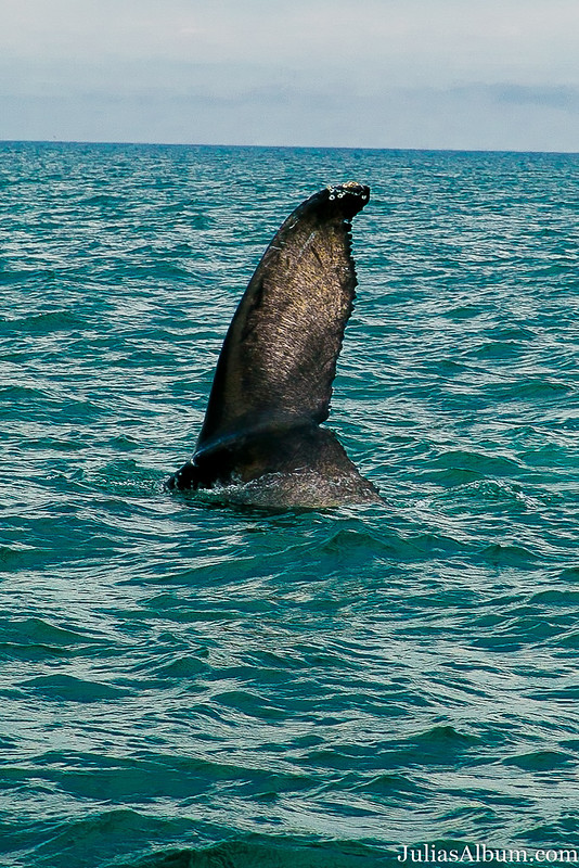 whale tail, whale watching in Canada