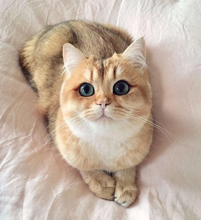 Британский короткошерстный котёнок - ПоЗиТиФфЧиК - сайт позитивного настроения!
