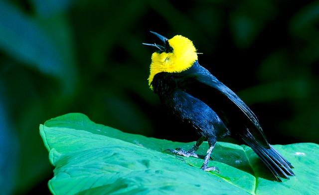 Yellow Headed Blackbird_2