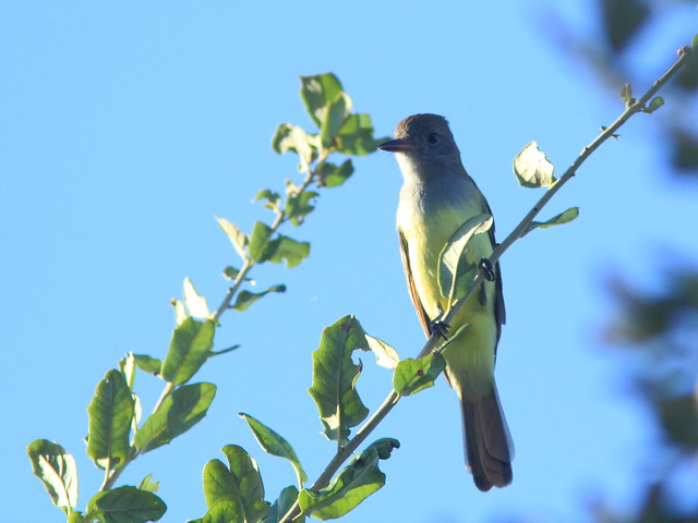 Great Crested Flycatcher 20160820