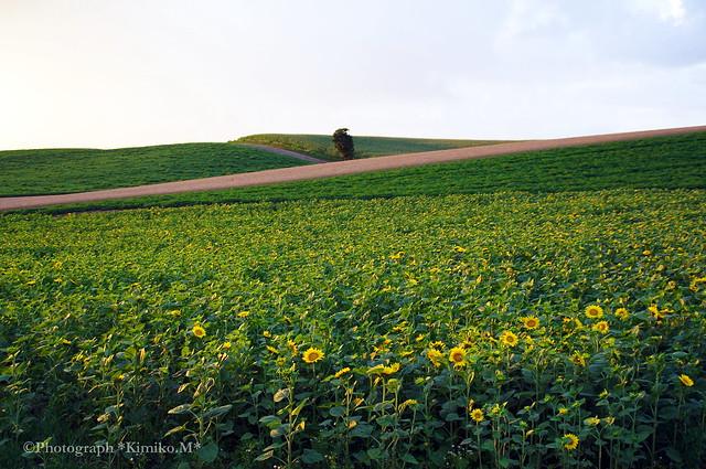 向日葵畑②