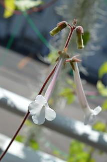 DSC_3776 Sinningia tubiflora シンニンギア 上海の女王 Hardy White Gloxinia