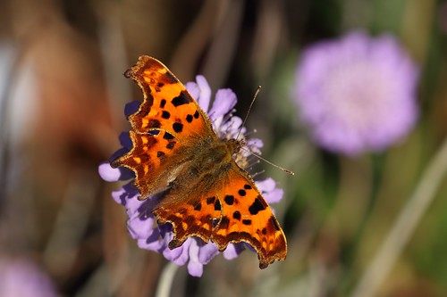 Comma (Polygonia c-album) butterfly | by Deanster1983 who's mostly off for a while