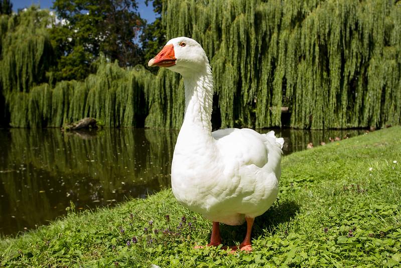Wild goose in Dobrzyca Park