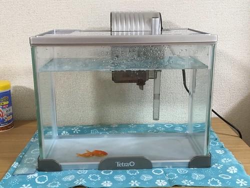 金魚を飼い始めた