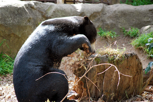 Sun bear | by Jellibat