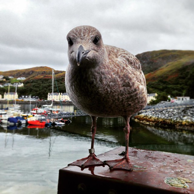 Juvenile Herring Gull, Mallaig, Scottish Highlands  #mallaig #mallaigharbour #scottish highlands #scotland #scottishscenery #innerhebrides #herringgull