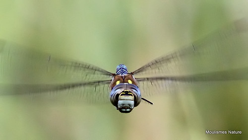 IMG_9261. MIGRANT HAWKER (Aeshna mixta) - Aeschne mixte, male | by Nick Ransdale (http://www.nick-ransdale.com/)