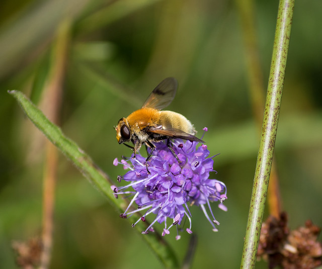 """Hoverfly on Devil""""s-bit Scabious"""