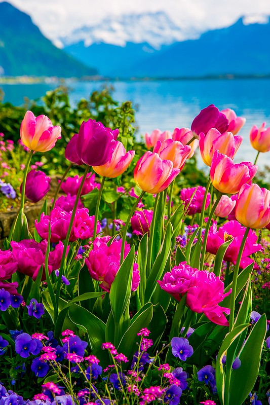 Lake Geneva, the Alps, flowers, tulips