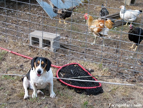 Beagle Bert, chicken whisperer (1) | by Farmgirl Susan