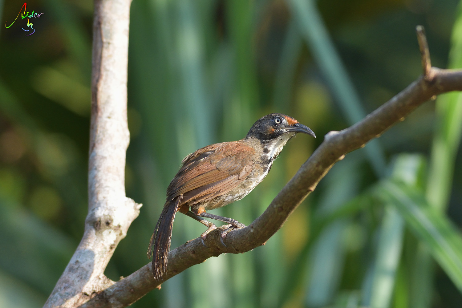 Rusty-cheeked_Scimitar_Babbler_4358