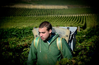 Burgundy Grape Harvest 2012 | by The Hungry Cyclist