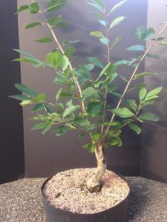 Ilex verticillata (Common Winterberry)