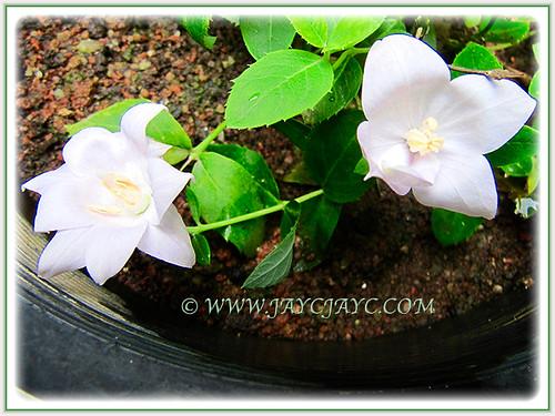 White flowers of Platycodon grandiflorus or Balloon Flower, 26 July 2016