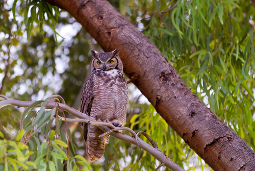 GreatHornedOwlArizona | by Tiffany Joyce