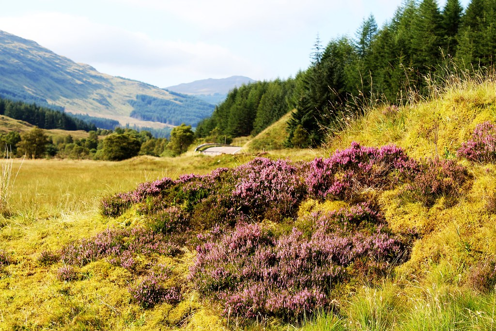 Scottish Heather, Glen Lochy, Scotland