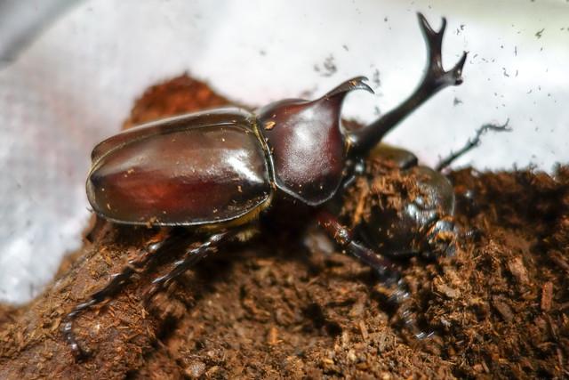 カブトムシ産卵