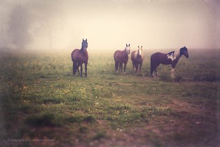 Horses in the Morning Mist | by Steven Dempsey