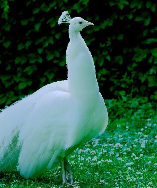 Peacock_38