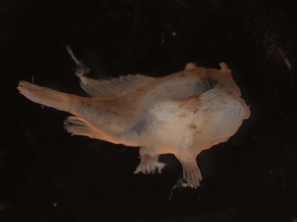 lateral dorsal view of Juvenile Antennarius sp.