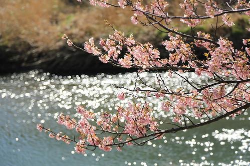 minami izu kawazu cherry みなみの桜と菜の花まつり 2013