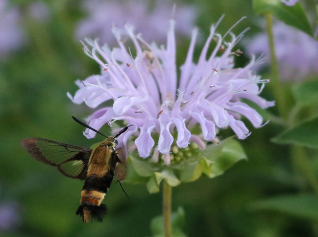 moth at the bottom left of a bee balm, with its left wing in focus and the green background visible through the wing