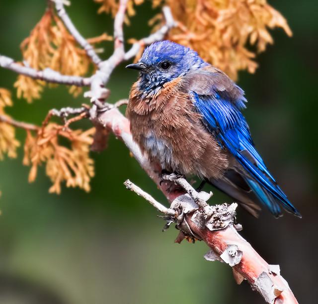 Western-Blue-bird-17-7D2-081816