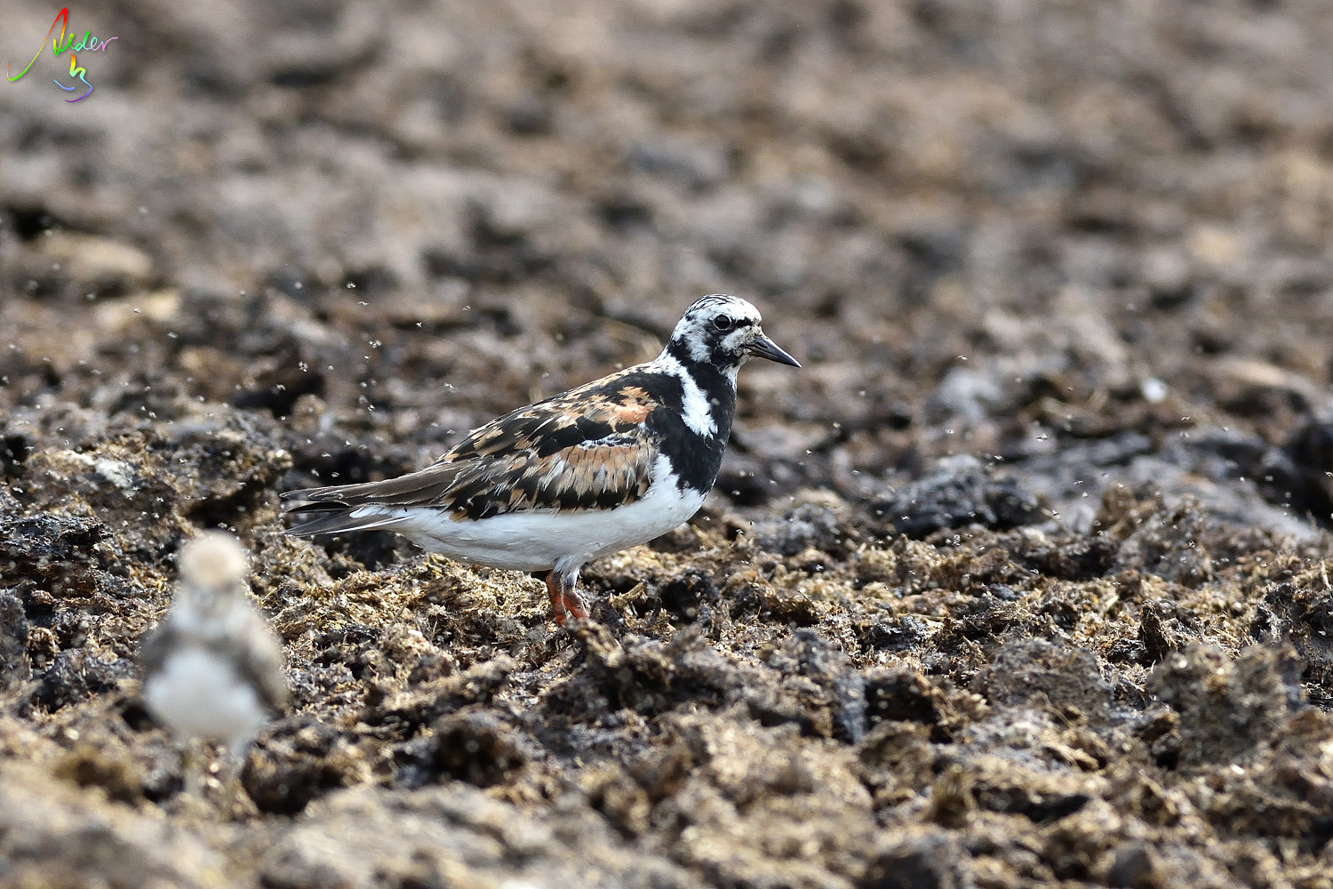 Ruddy_Turnstone_8266