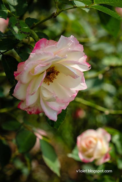 Roses6-0229rw