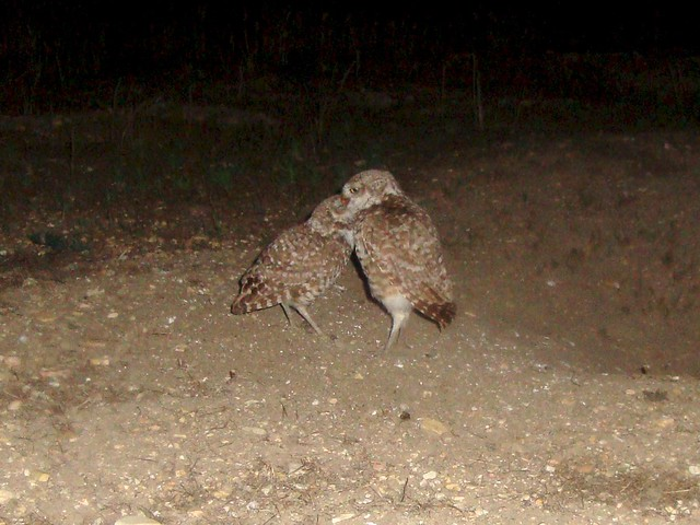 burrowing owls 12