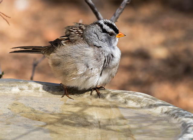 White-crowned-Sparrow-12-7D2-100816