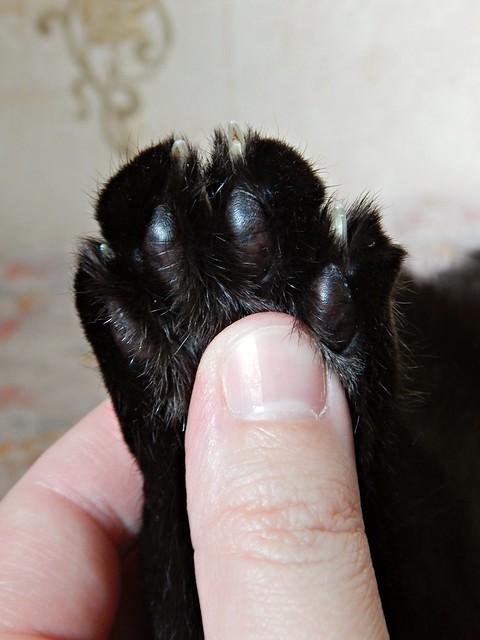 Чёрный кот Муся и чёрная кожаная пятка | Musia the Black Cat and his paw | horoshogromko.ru