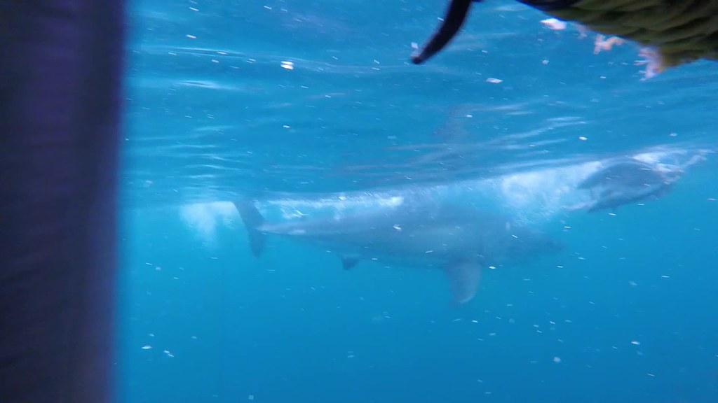 Tubarão branco :)