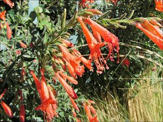 Hummingbird trumpet flowers