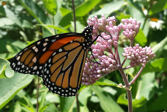 right-side view of a butterfly with wings closed, climbing on joe-pye weed buds