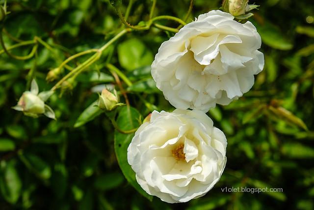 Roses17-0264rw