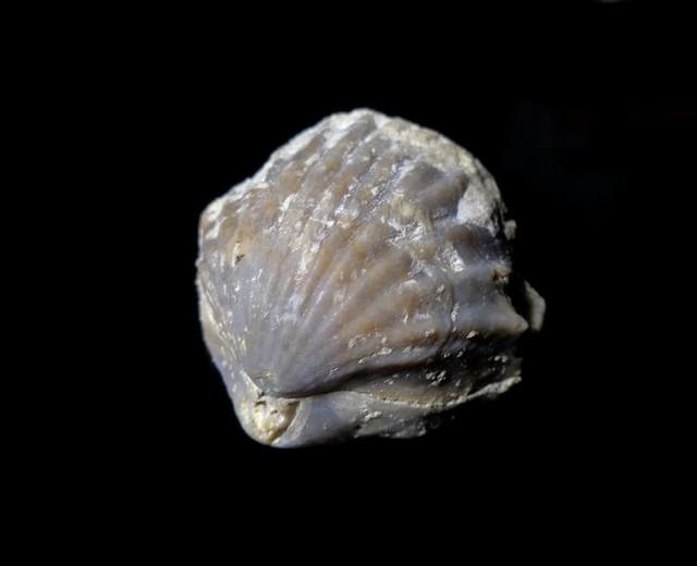 Rhynchonella brachiopod