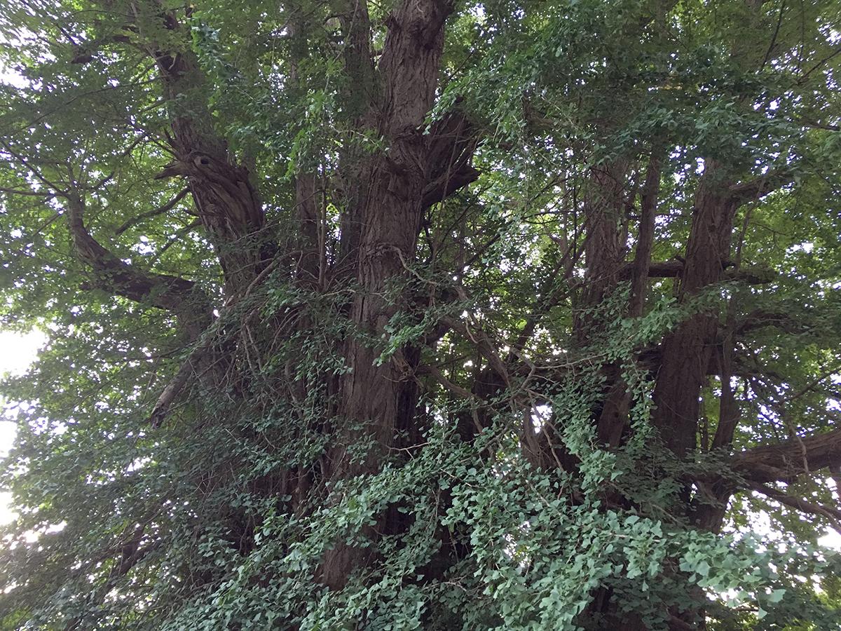 でかい銀杏の木