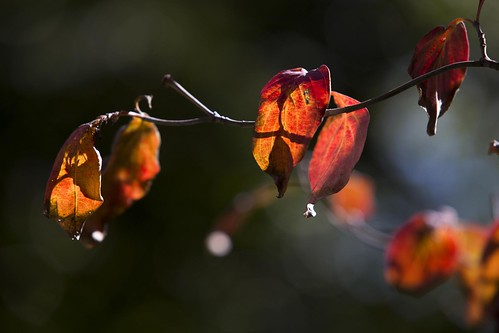 Autumn Dogwood (373) | by Bill in DC