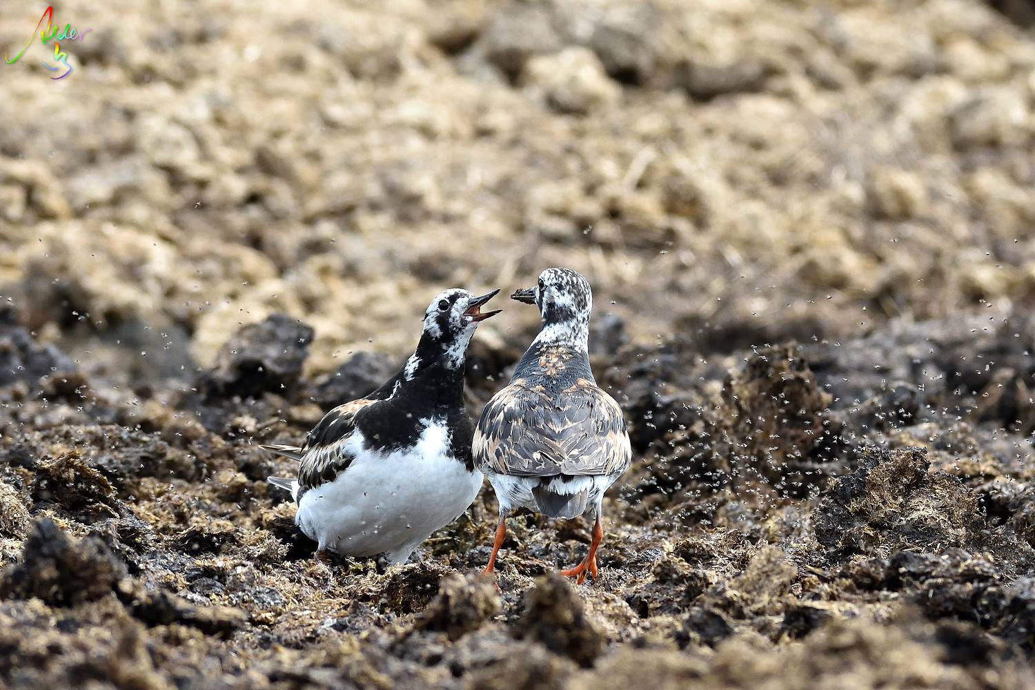 Ruddy_Turnstone_8329