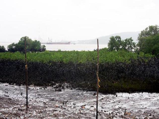 मुम्बई तेल रिसाव से मैंग्रोव वन पर भी खतरा