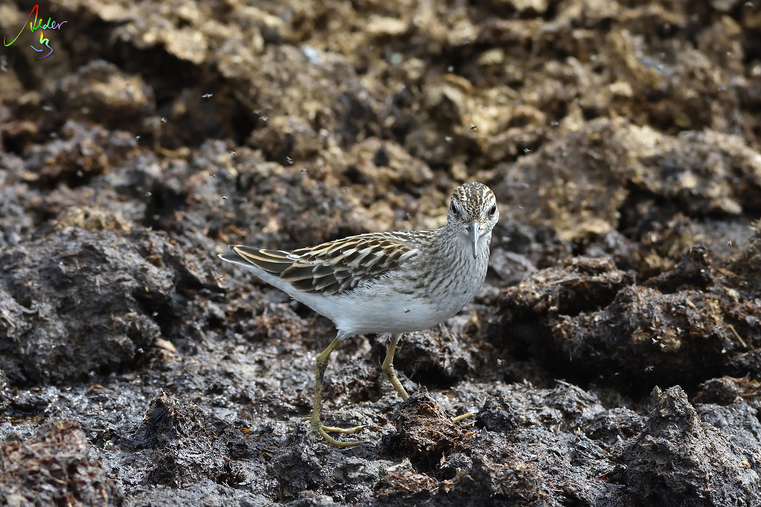 Long-toed_Stint_8152