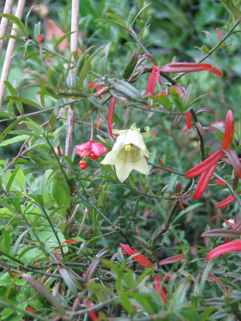 Codonopsis rotundifolia angustifolia