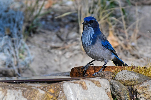 Chilao V.C.: California Scrub-Jay